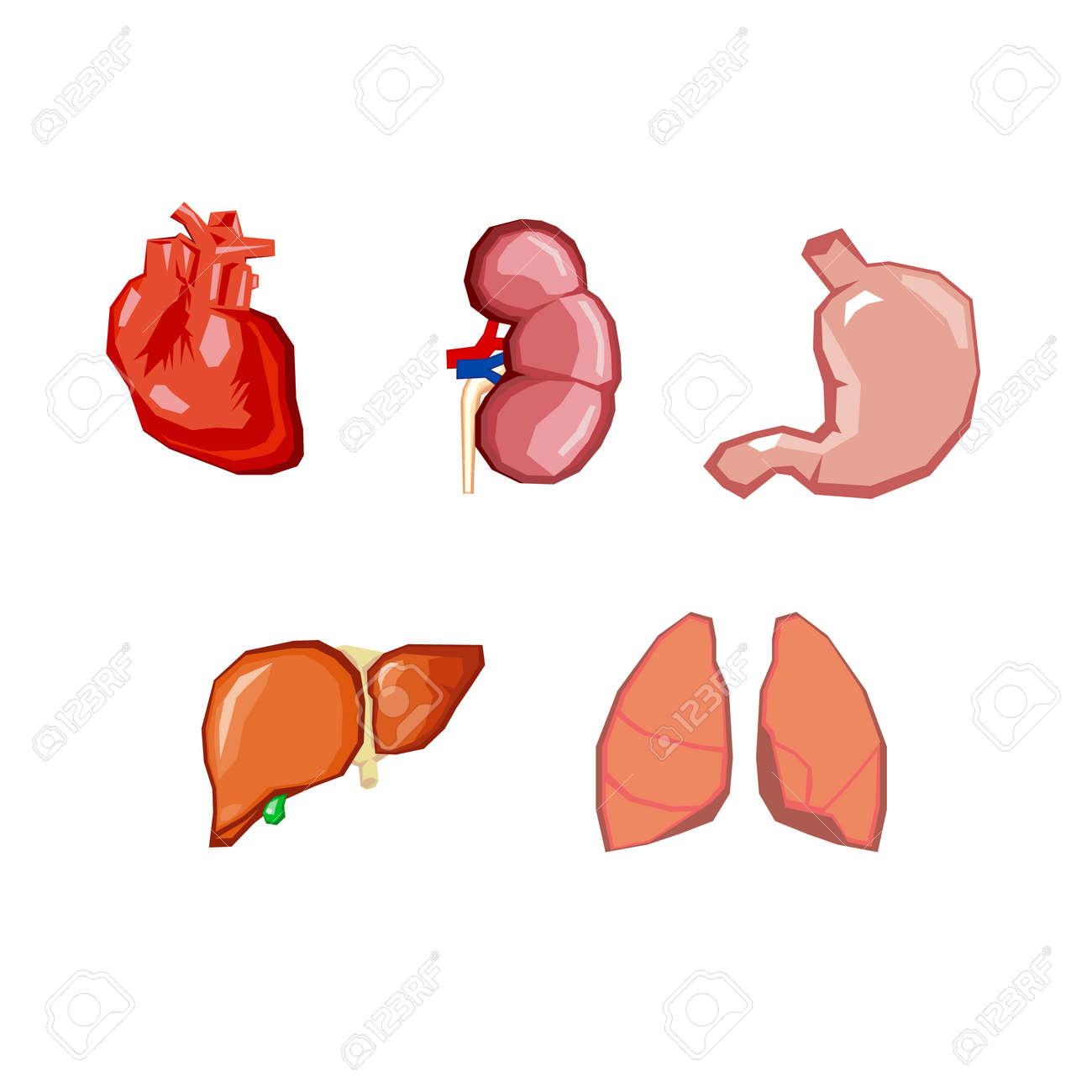 Human Organs Internal Organs Set Human Anatomy Internal Parts