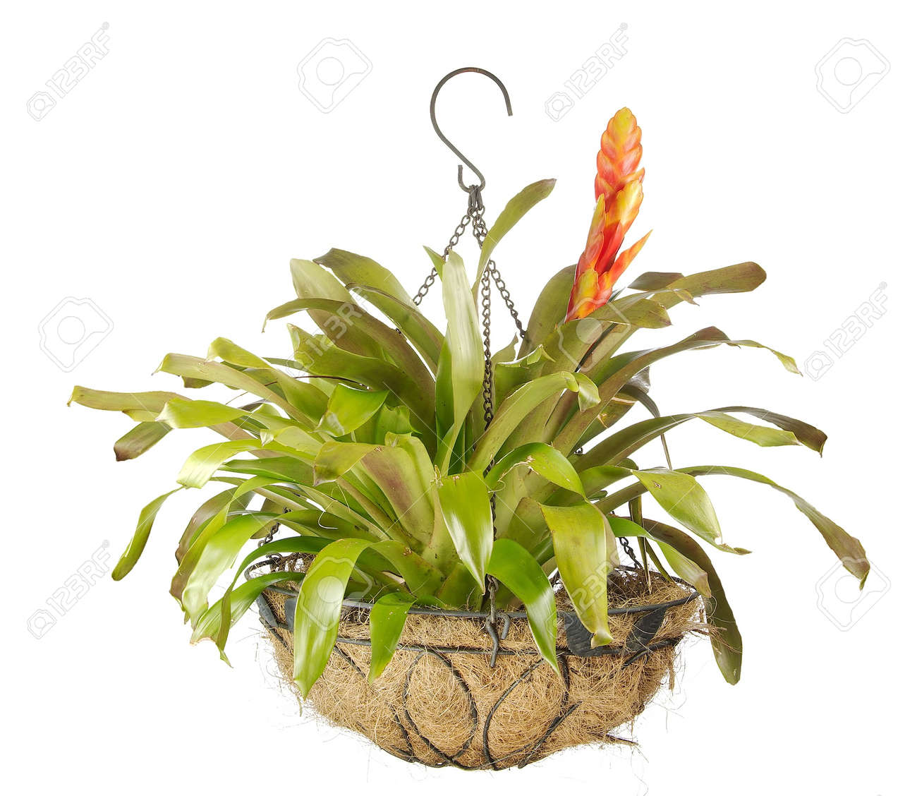 Close up of a beautiful blooming bromeliad or airplant isolated on white Stock Photo - 13810848