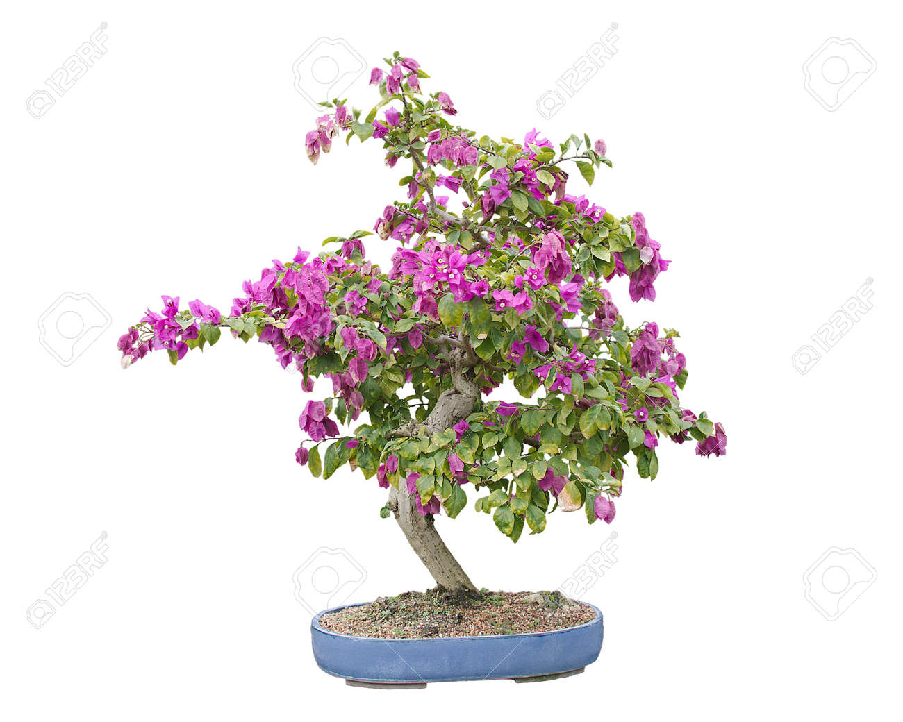 Blooming Bougainvillea Bonsai Tree Isolated On White And In Stock