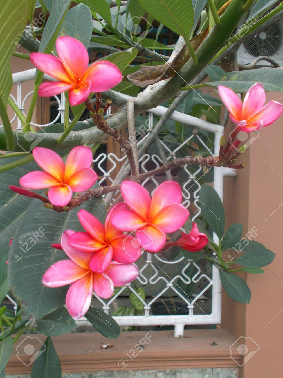 Red yellow pink plumeria flower on the tree stock photo picture and red yellow pink plumeria flower on the tree stock photo 60722349 mightylinksfo