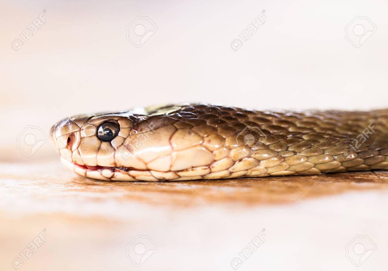 Фото кобра крупным планом 7 фотография