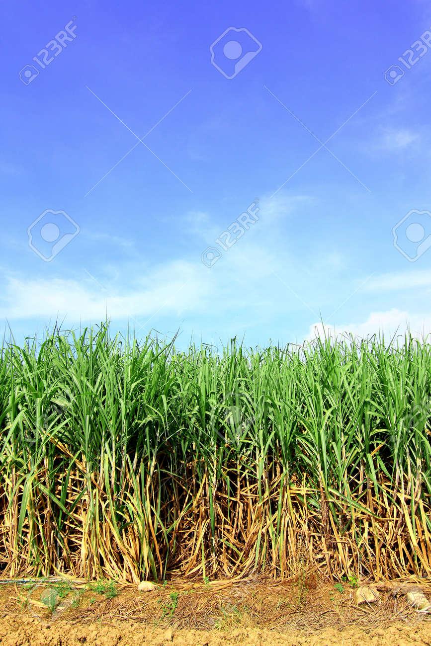 Sugarcane in Thailand Stock Photo - 8146291