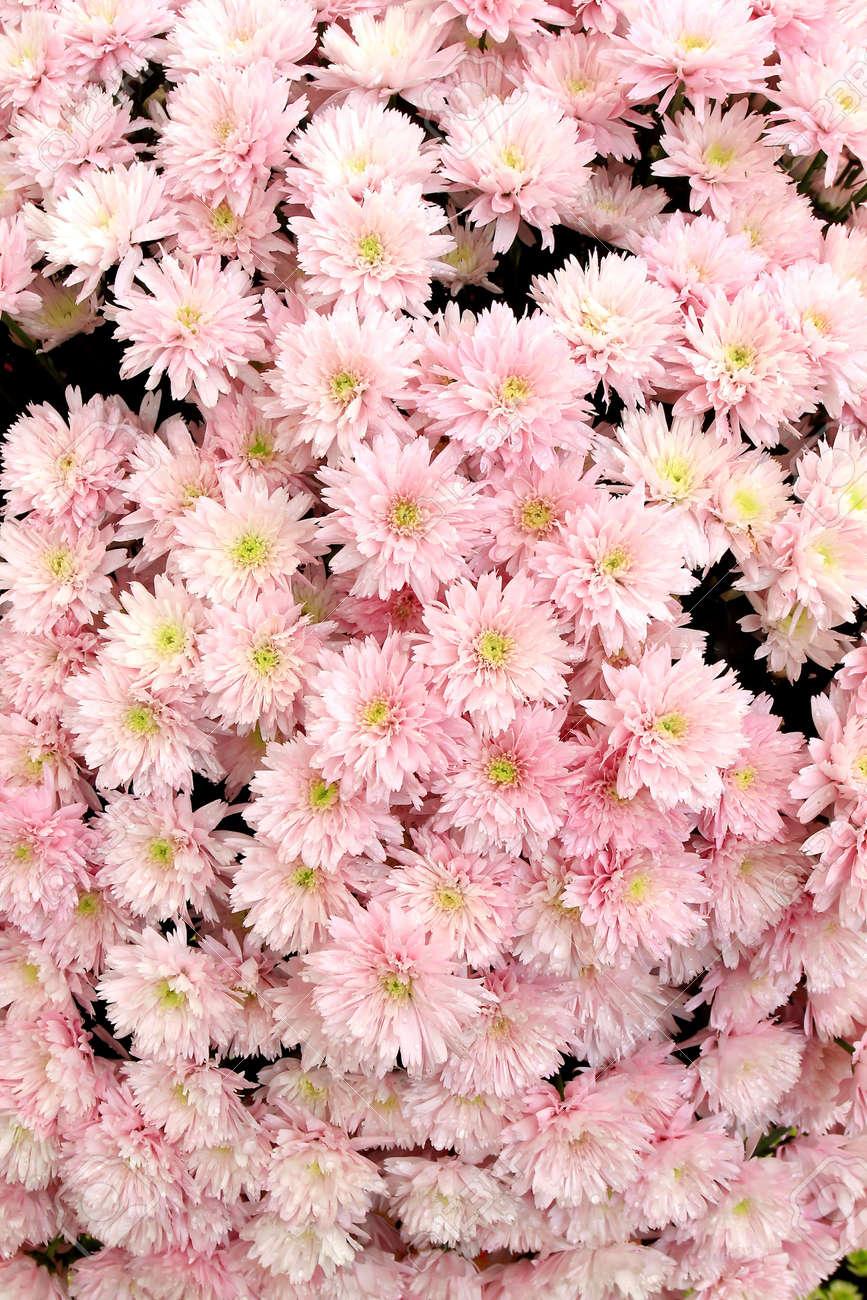 Many beautiful pink chrysanthemums, autumn bouquet, close-up Stock Photo - 9011010