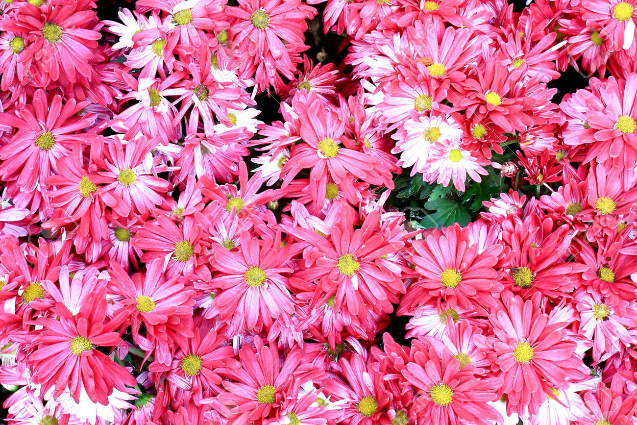Close up of beautiful pink flower background Stock Photo - 9011025