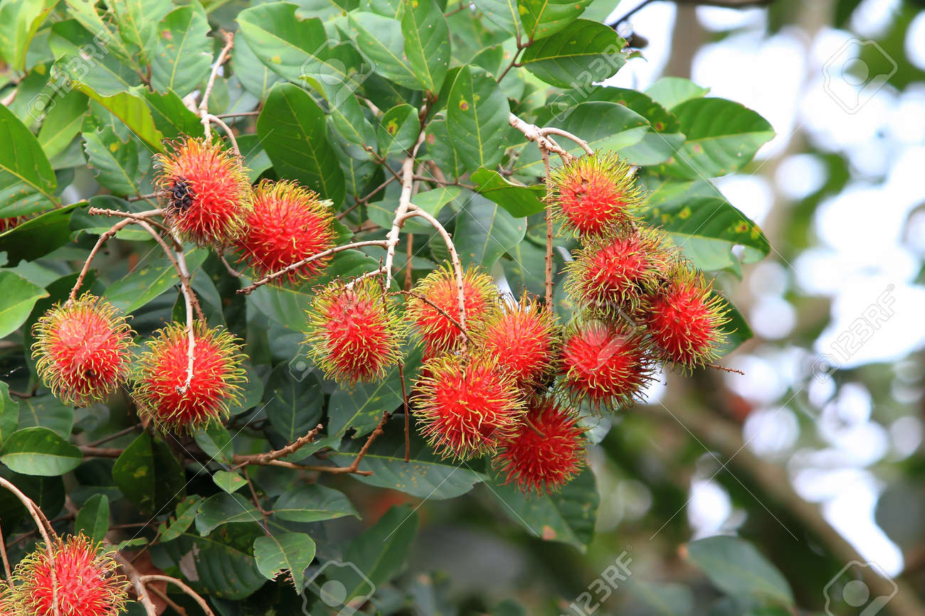 tropical fruit, rambutan on tree stock photo, picture and royalty, Natural flower