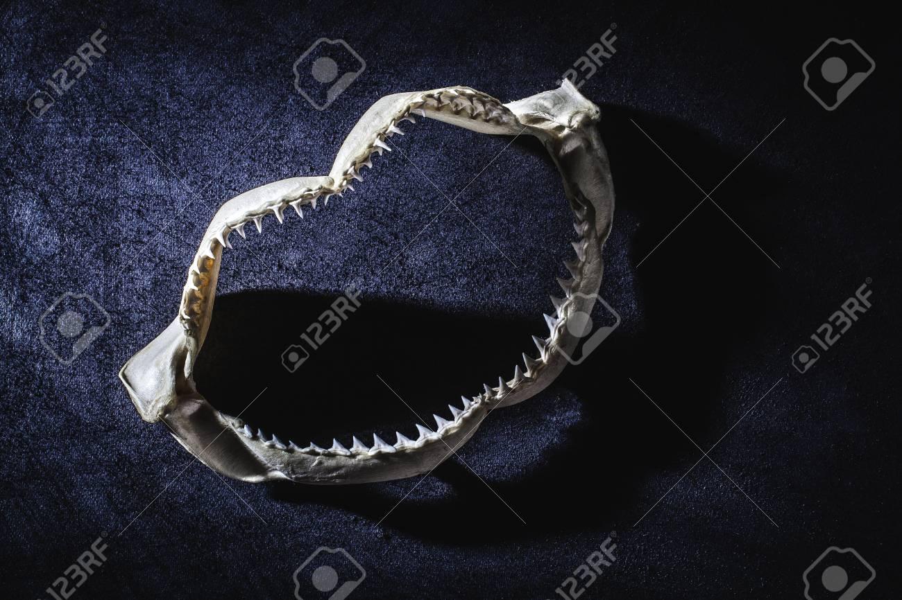Shark jaw with teeth - 19296544