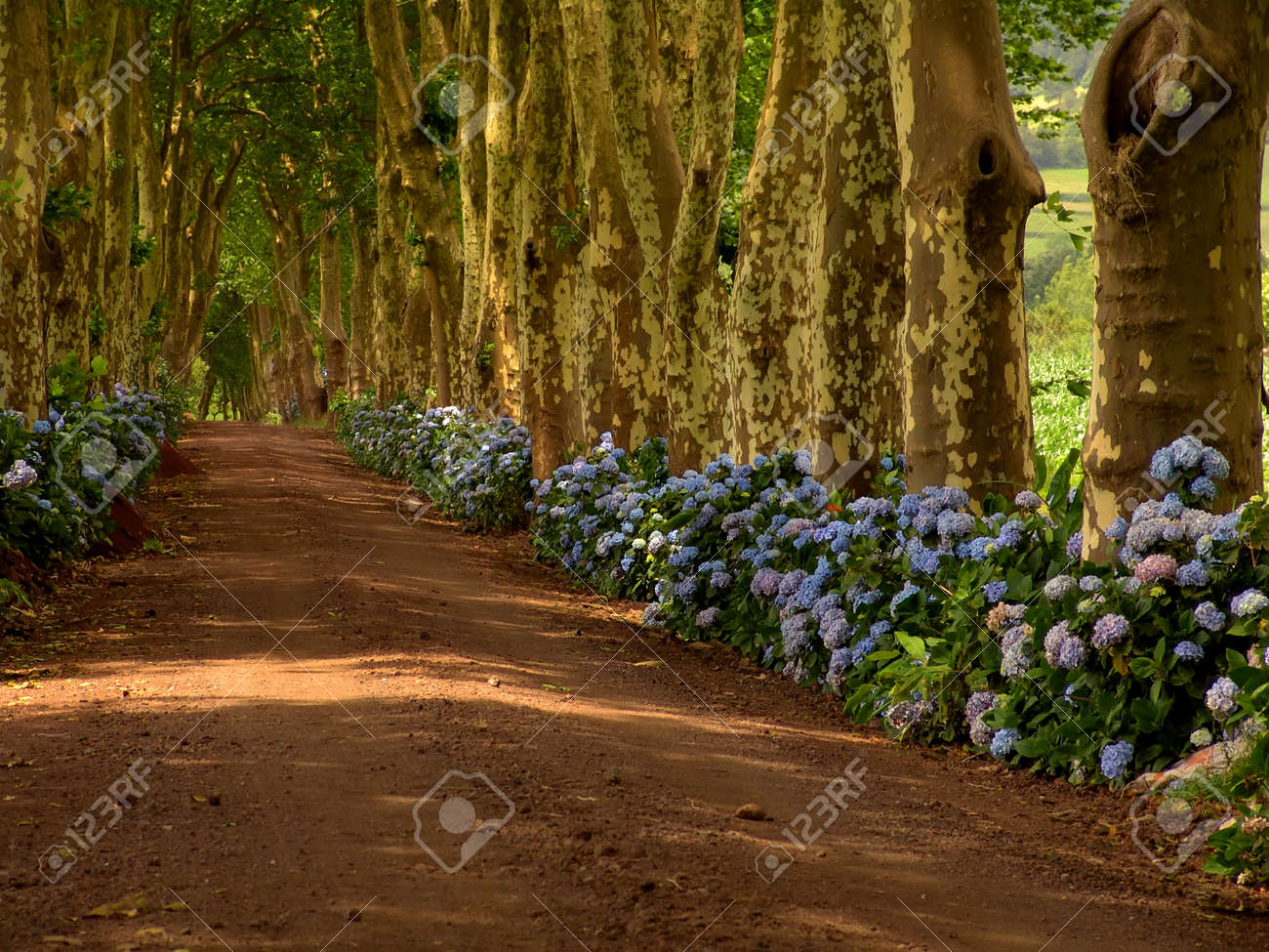 path with tree on two side in azores Stock Photo - 1684376