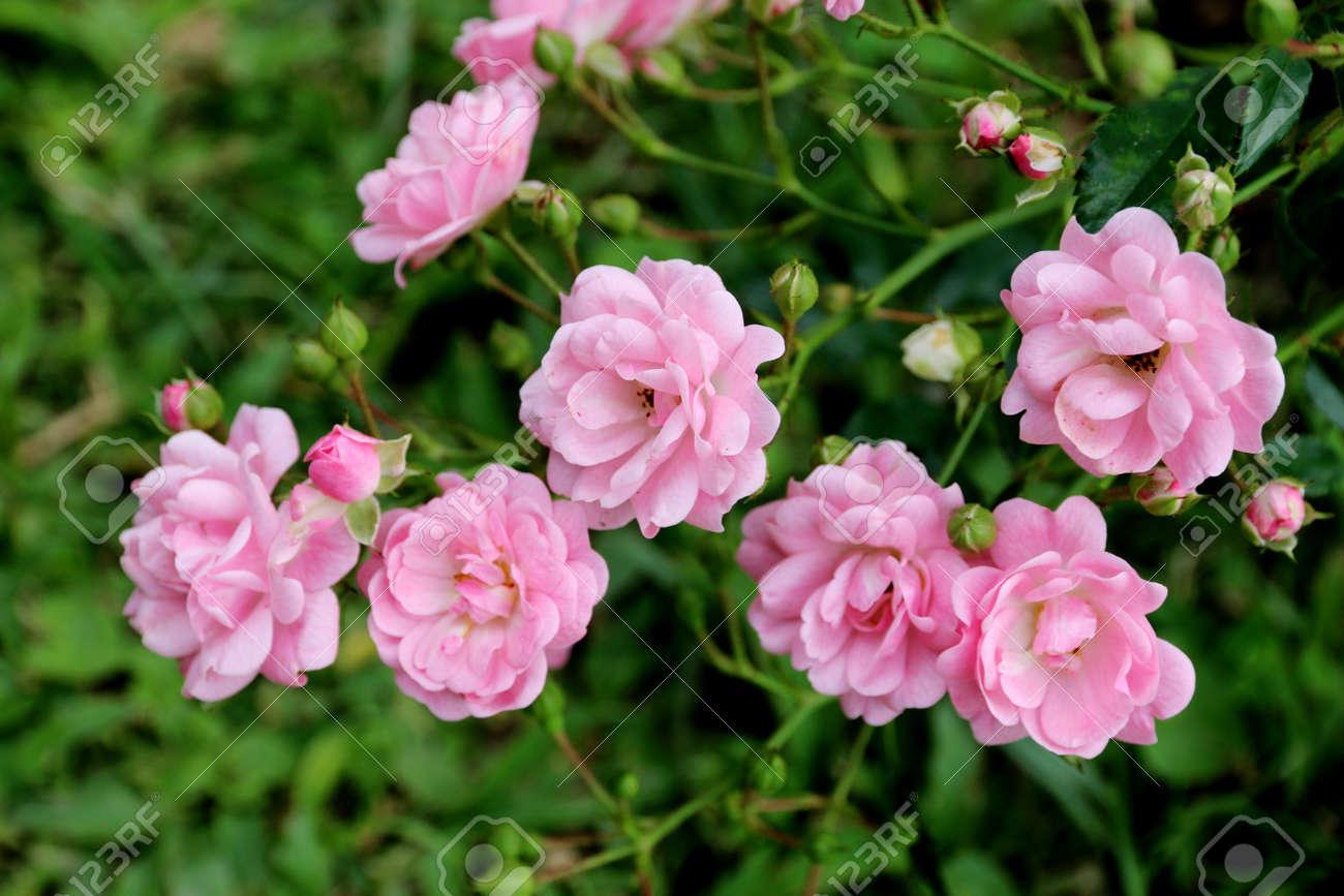Immagini Stock Rosa Rosa Cè Una Rosa Rossa E Uno Sfondo Verde