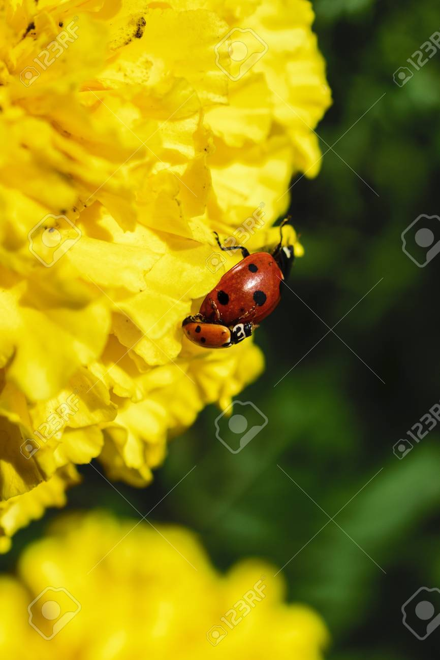 Low Angle View Of Two Ladybugs Reproducing On A Blossoming Yellow