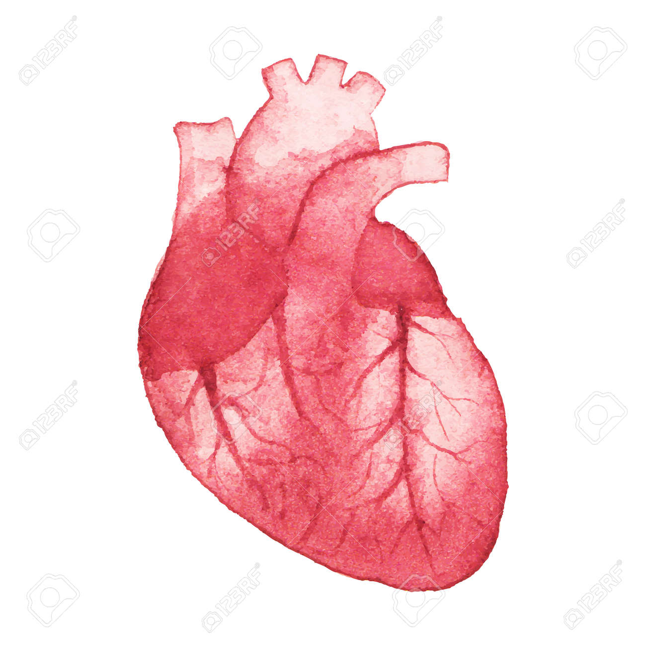 watercolor realistic heart on the white background royalty free, Muscles
