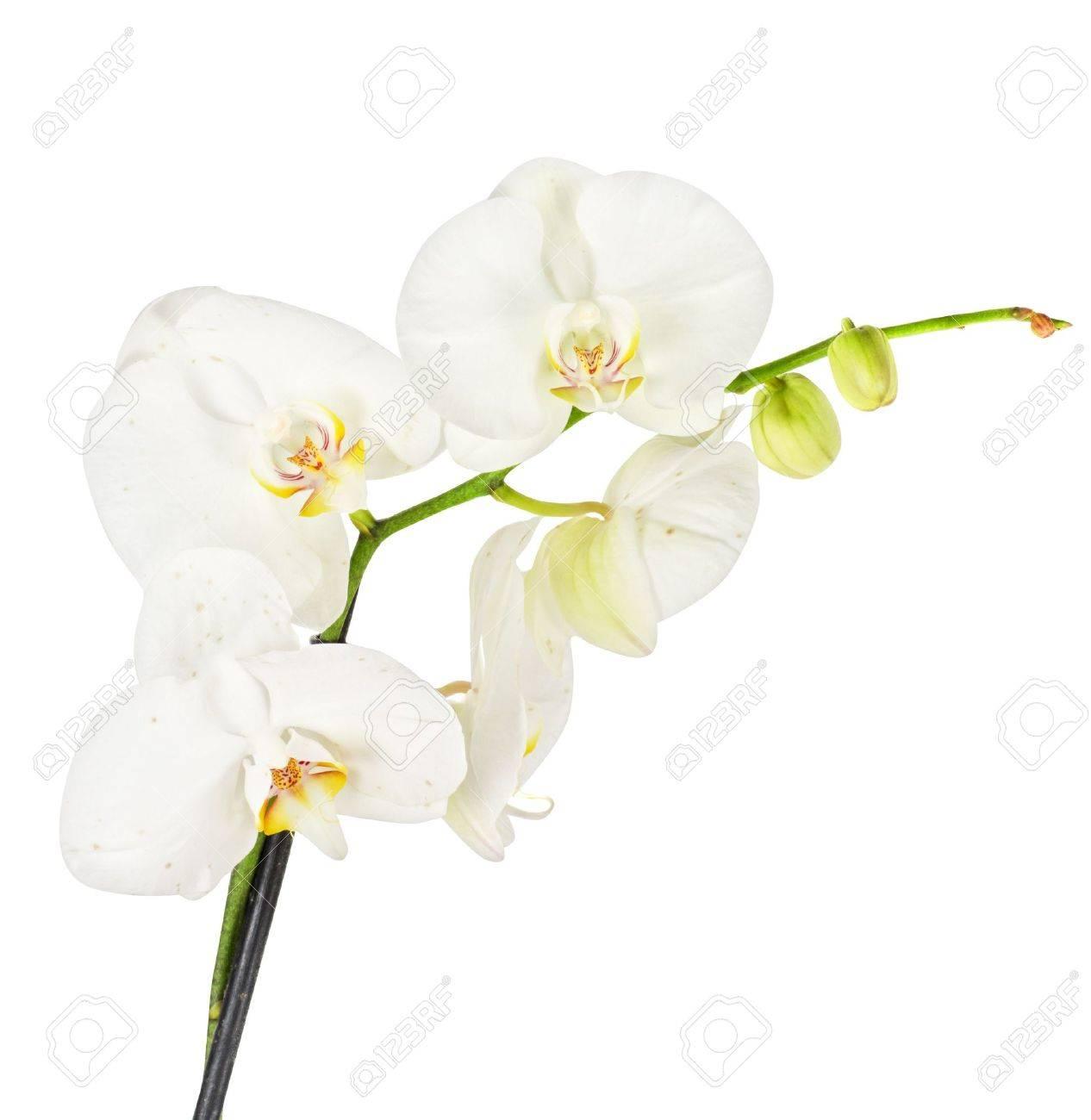 Foto de archivo , Orquídea blanca closep en un fondo blanco