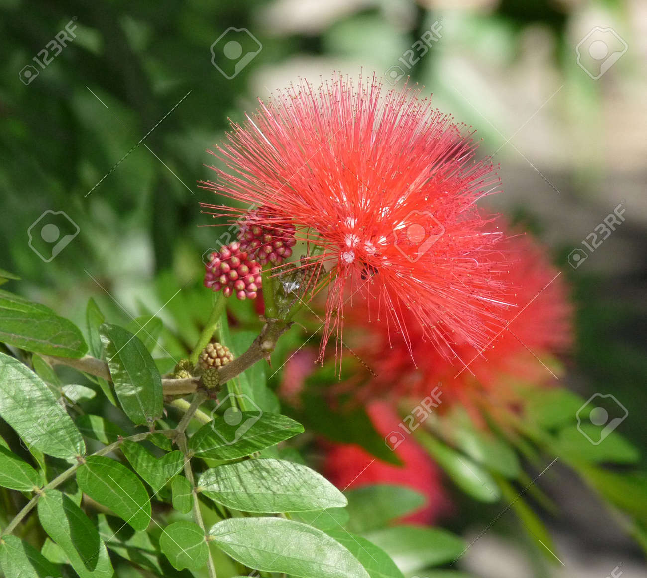 A pretty red dandelion looking flower up close stock photo picture a pretty red dandelion looking flower up close stock photo 4421284 mightylinksfo