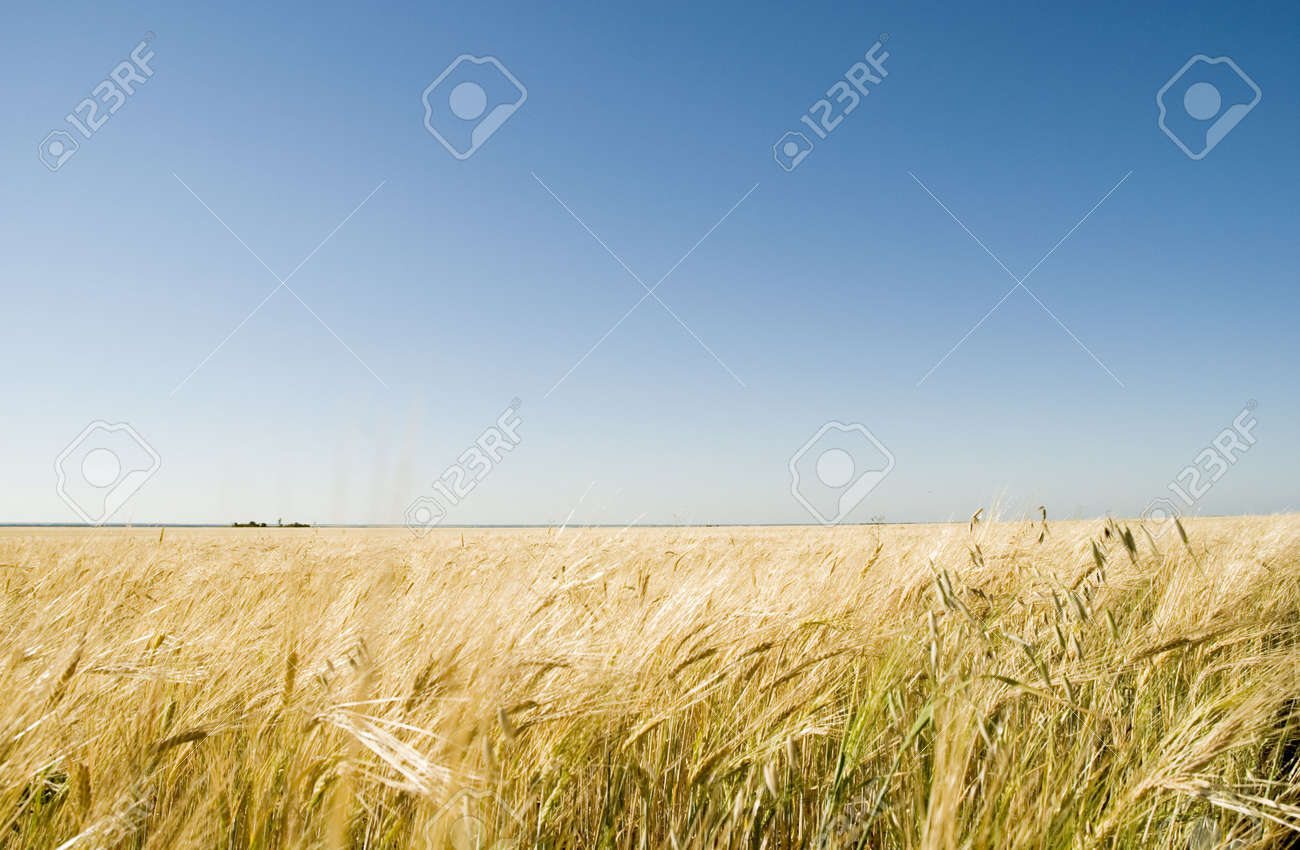 wheat field and blue sky Stock Photo - 3372436