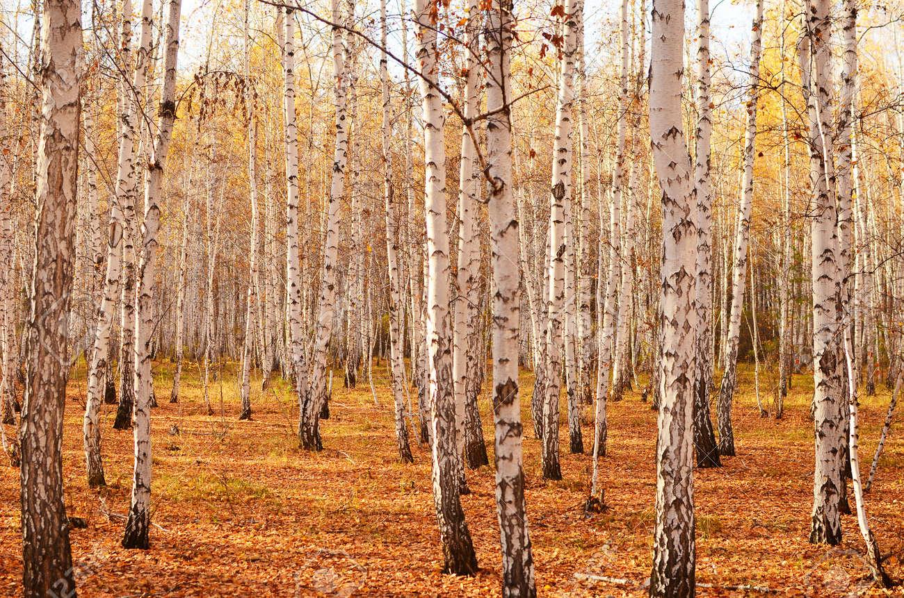 autumn birch forest Standard-Bild - 15755522