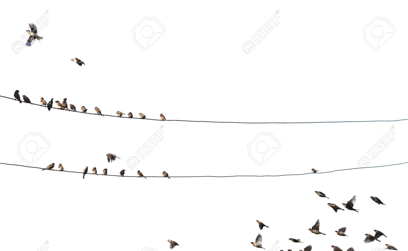 Birds On Wire Isolated On White Background Stock Photo, Picture And ...