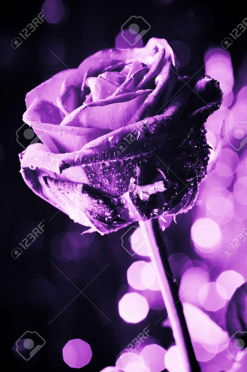 خلفيات ملونه فلاشيه 4622905-Single-rose-on-the-defocused-background-with-circle-flares-Narrow-depth-of-field-Purple-color--Stock-Photo