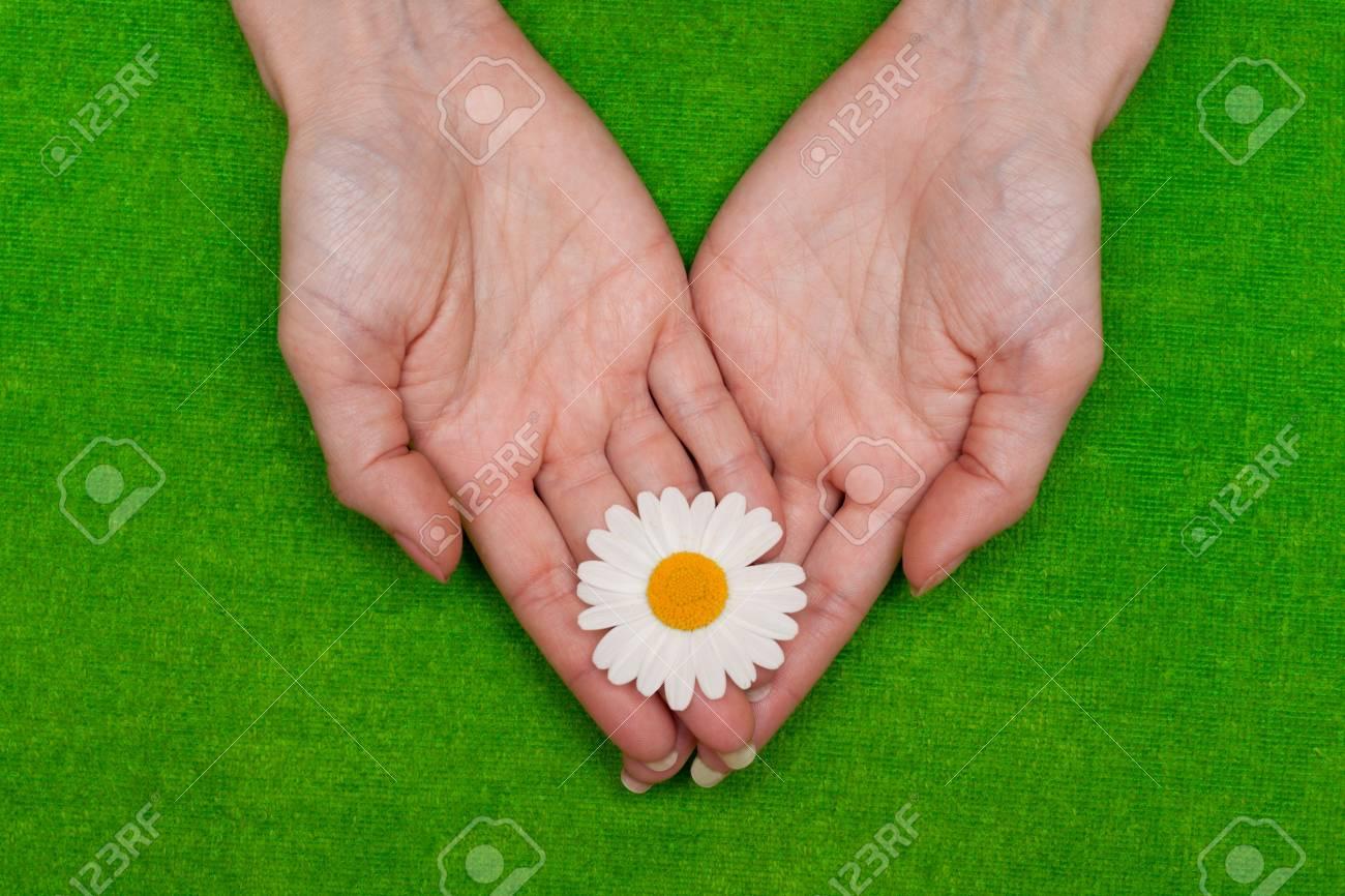 �amomile in feminine hand on green background Stock Photo - 5245018