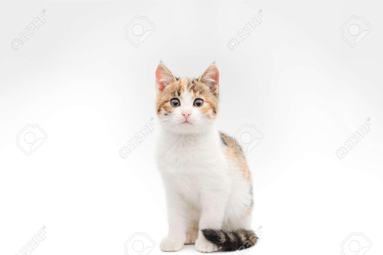 Portrait Of Beautiful Tricolor Little Pet Cat Kitty Sitting On Stock Photo Picture And Royalty Free Image Image 114675748
