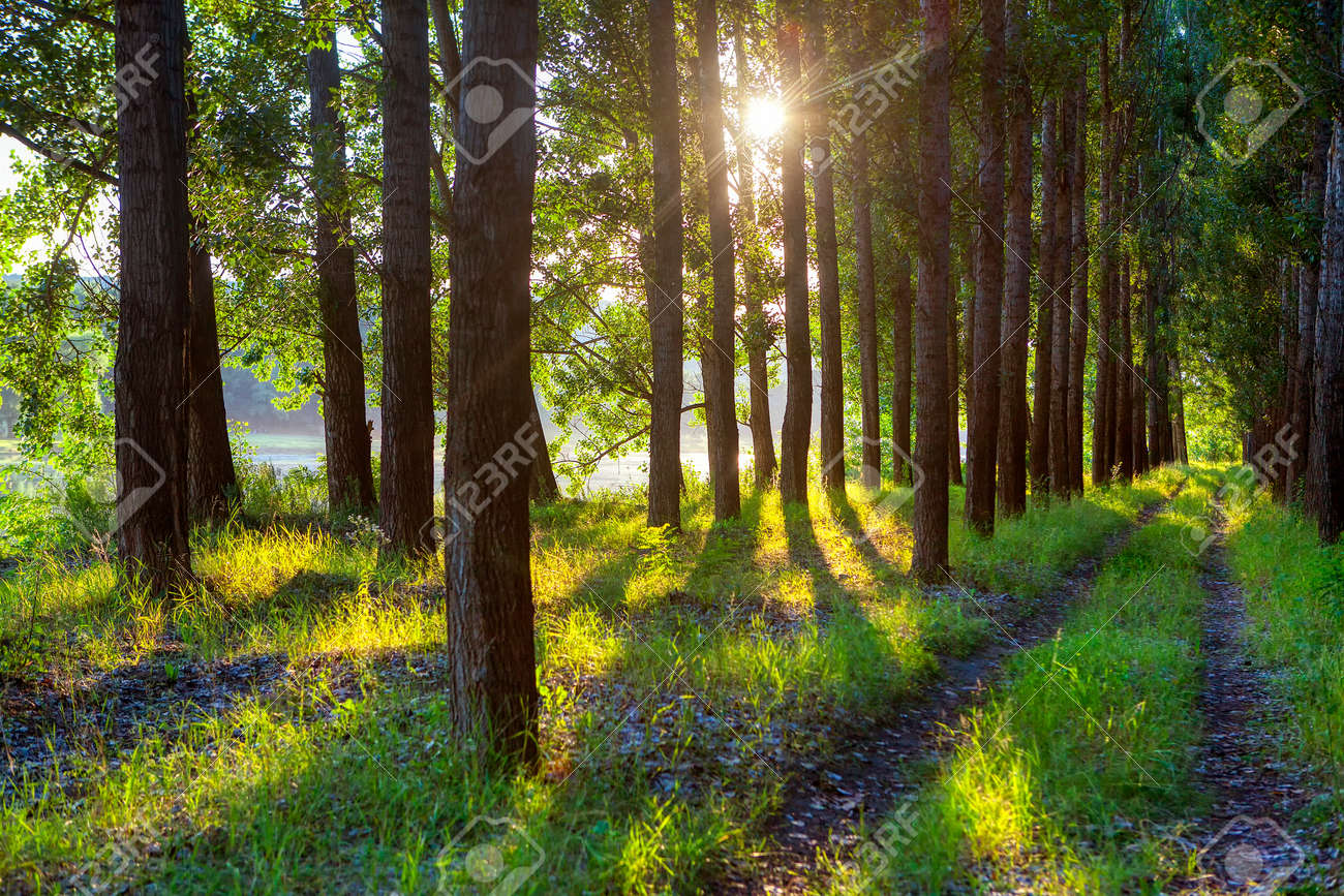 sunlight through the trees in the summer forest - 121392764
