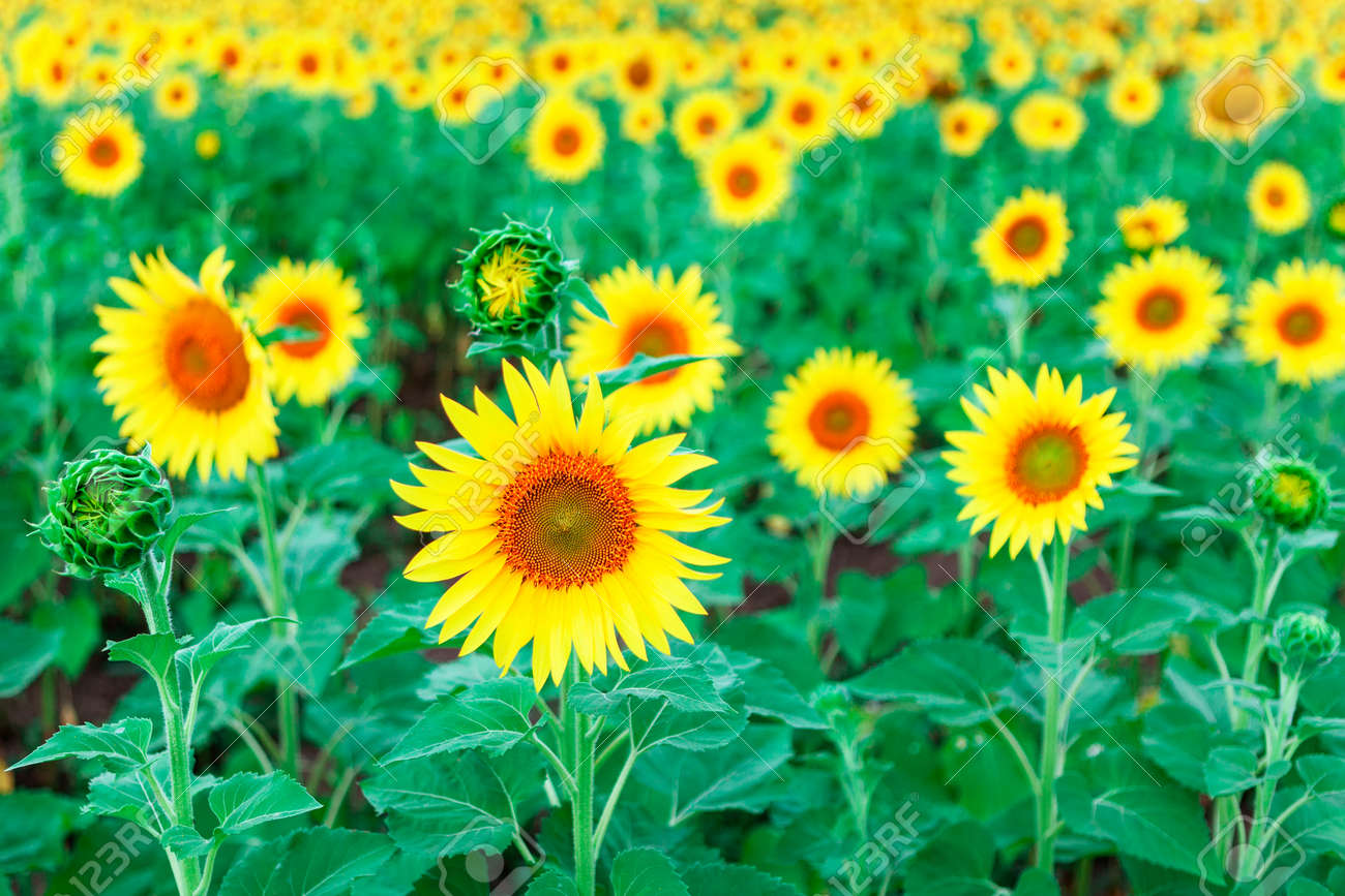 Sunflower Field In Summer . Yellow agricultural cultivated flowers - 170001168