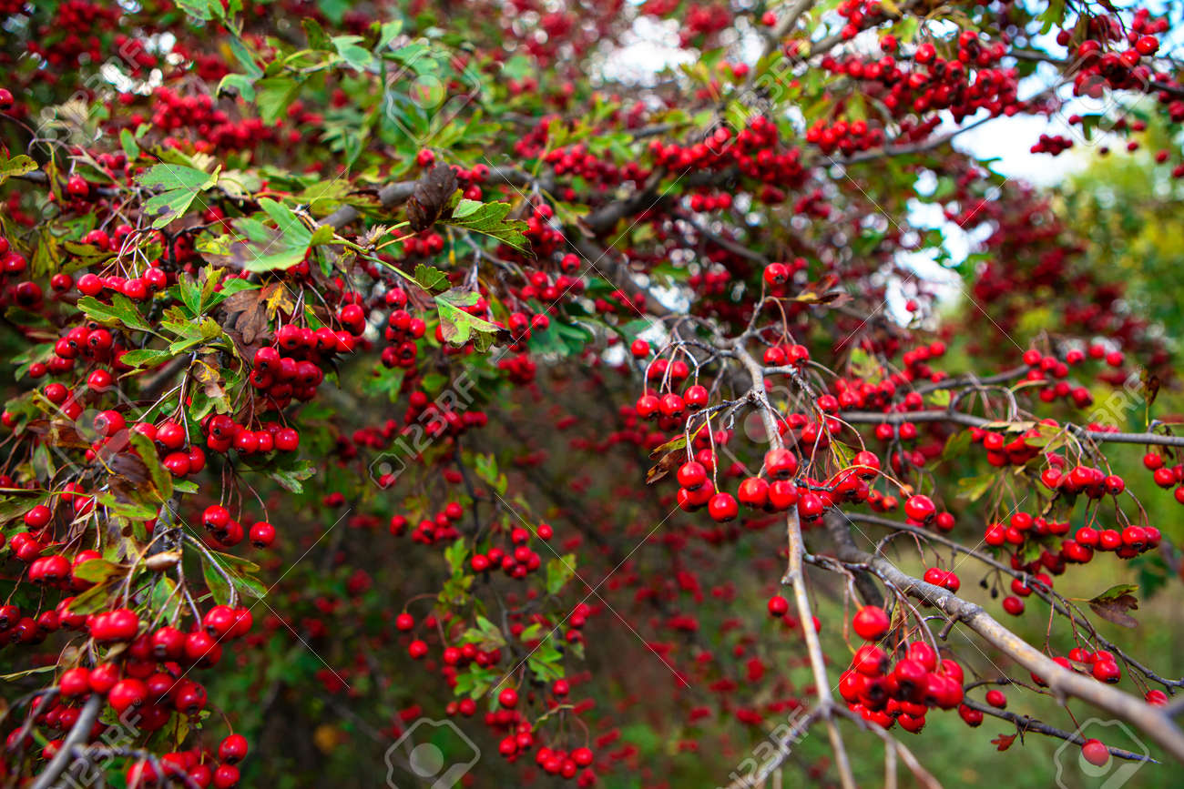 Hawthorn tree with red berries in autumn - 170080844