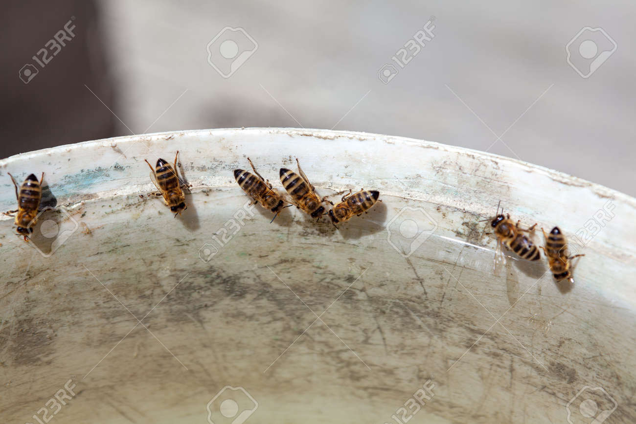 Honey bees drinking water . Bees Collect Water in the Summer - 170164311