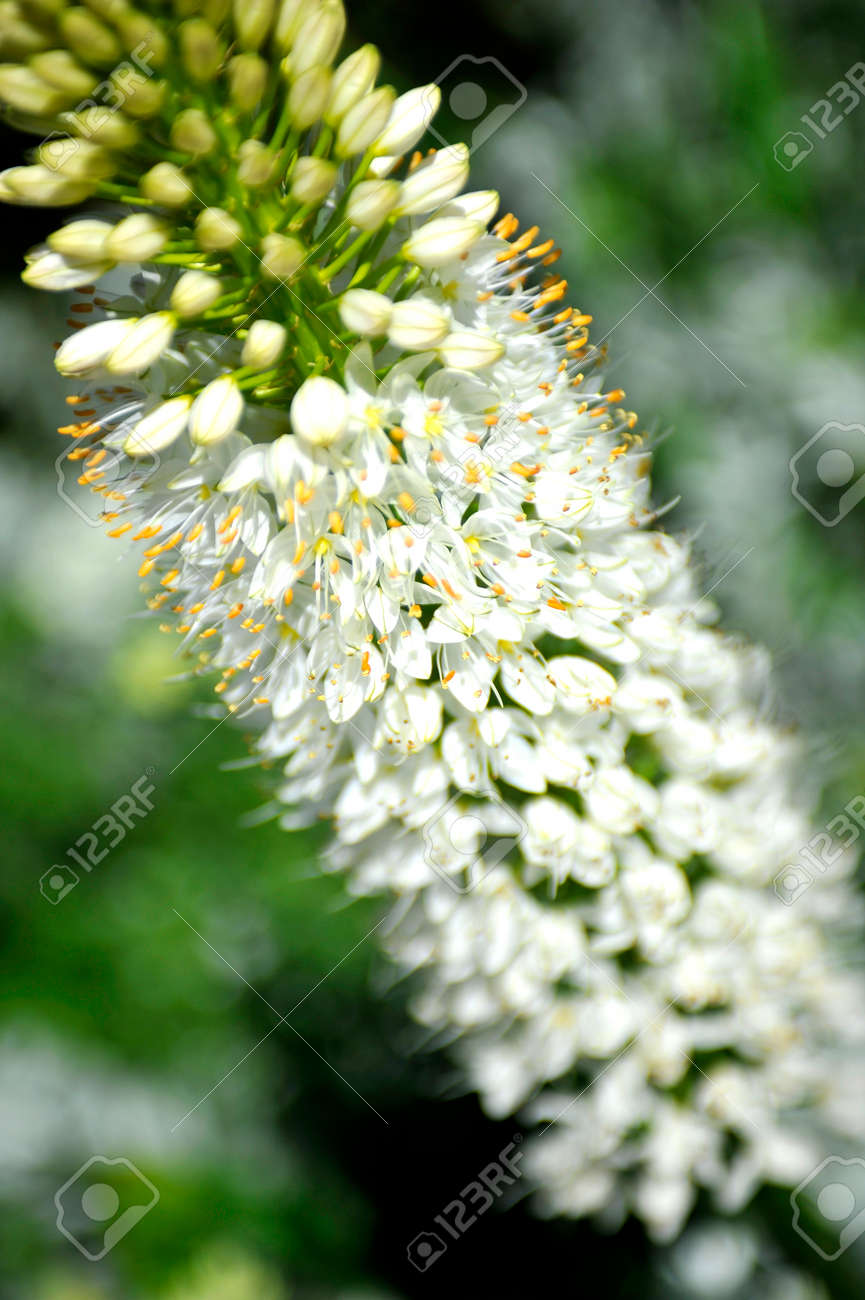 Close Up Of White Eremurus Or Foxtail Lily Flowers In Sunlight