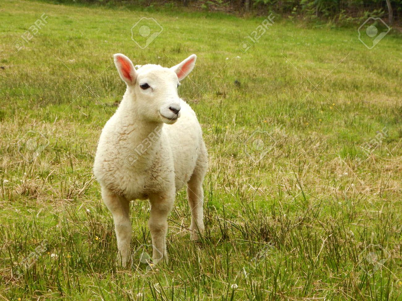 Single lamb in field - 132057362