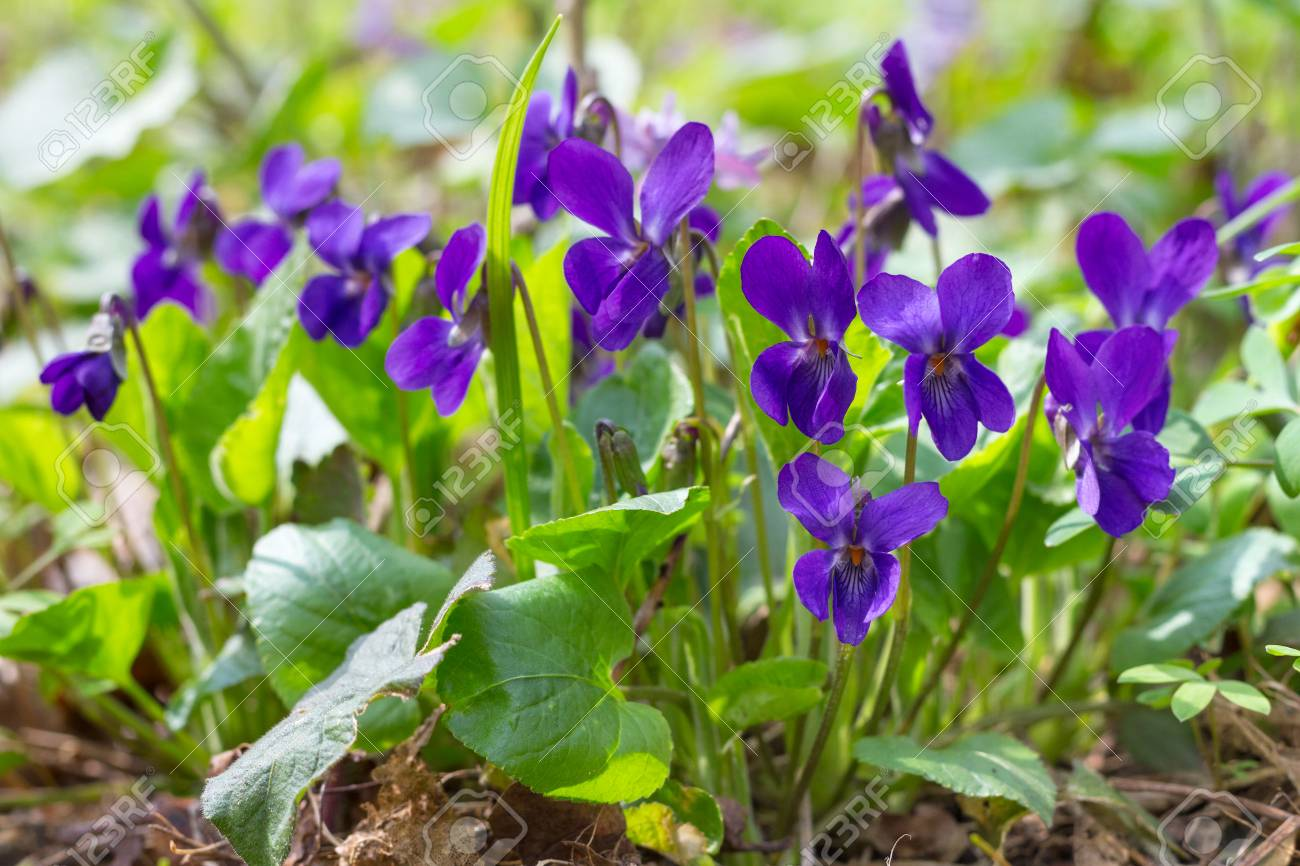 Violet Violets Flowers Bloom In The Spring Forest Viola Odorata Stock Photo Picture And Royalty Free Image Image 76463187