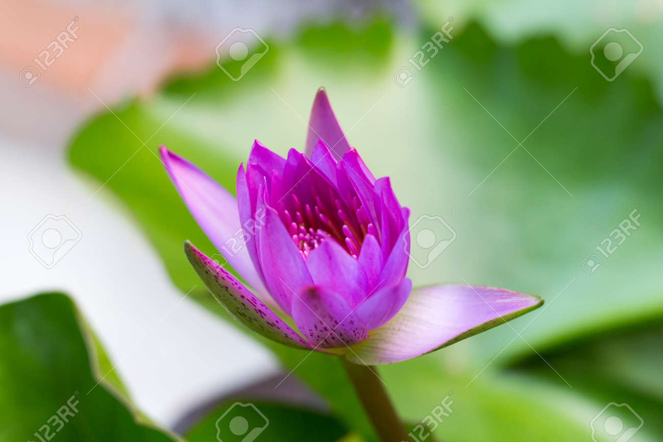 The Lotus Flower Background Is The Lotus Leaf And Lotus Flower