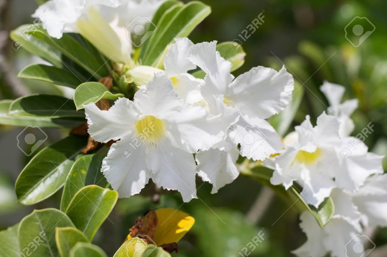 Natural flowers azalea flowers impala lily or desert rose or natural flowers azalea flowers impala lily or desert rose or mock azalea beautiful white mightylinksfo