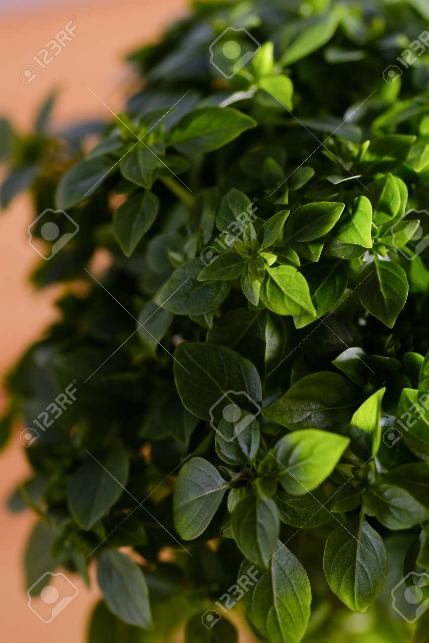 Bright Green Plant With Small Leaves In A Pot In The Interior Stock Photo Picture And Royalty Free Image Image 136399715