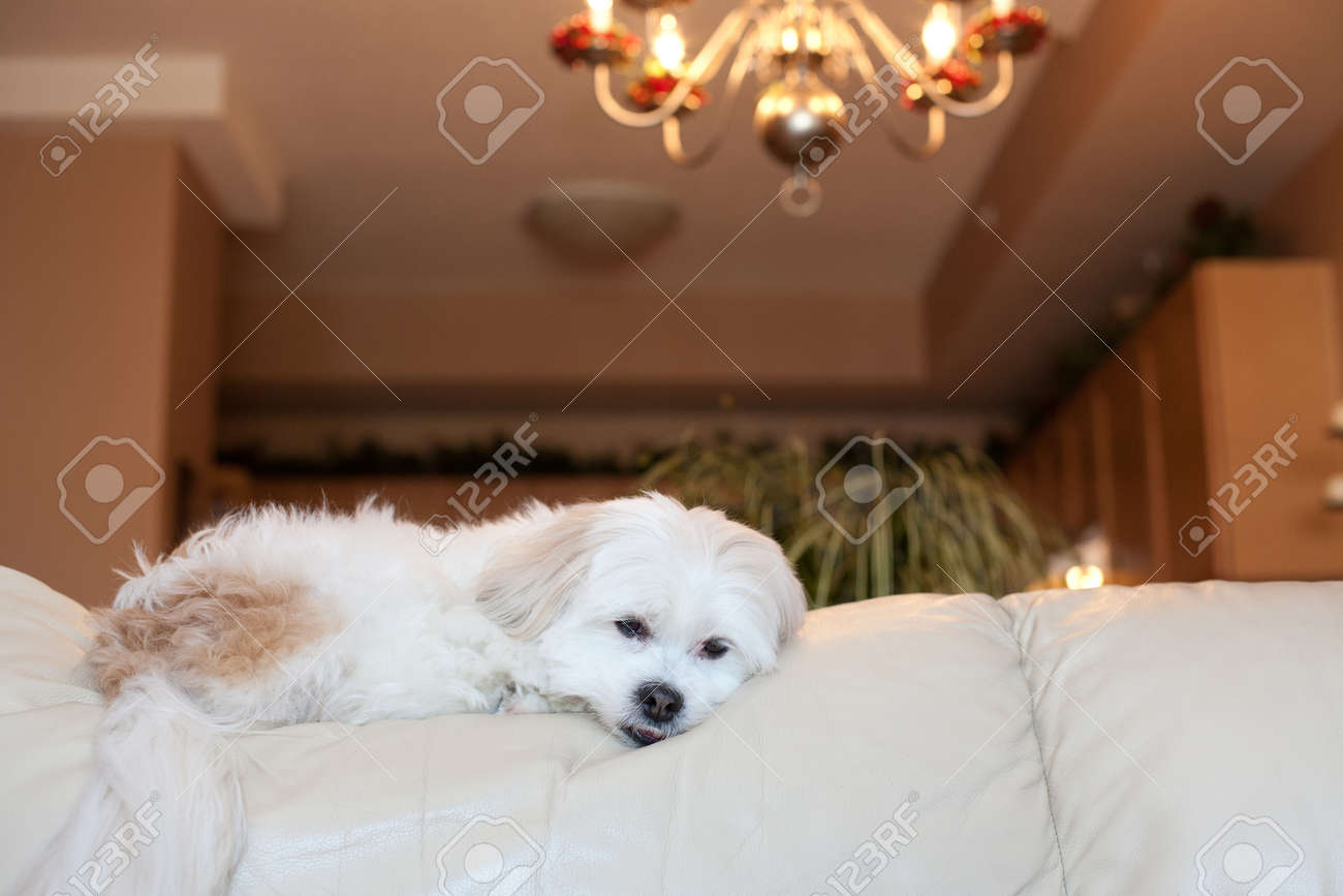 Awe Inspiring Small Brown And White Dog Laying On White Leather Couch With Forskolin Free Trial Chair Design Images Forskolin Free Trialorg