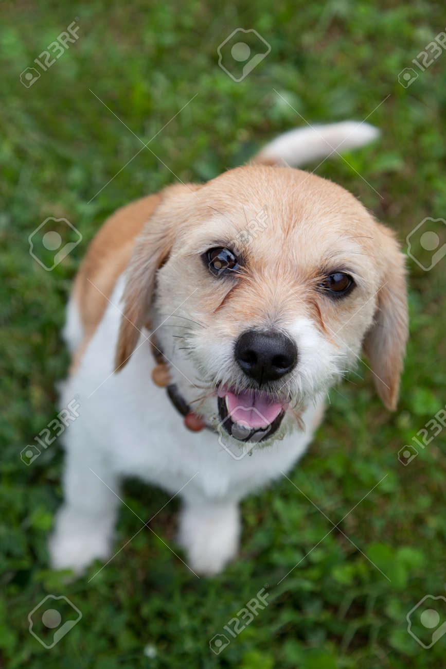 Cute Small Brown And White Dog Waits For Adoption Stock Photo