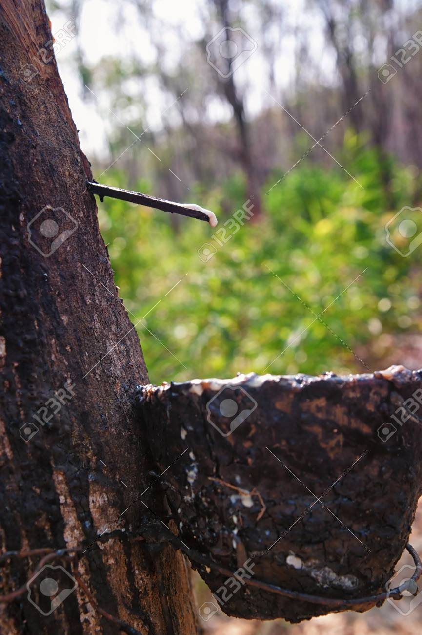 bowl collecting from rubber trees Stock Photo - 13562501