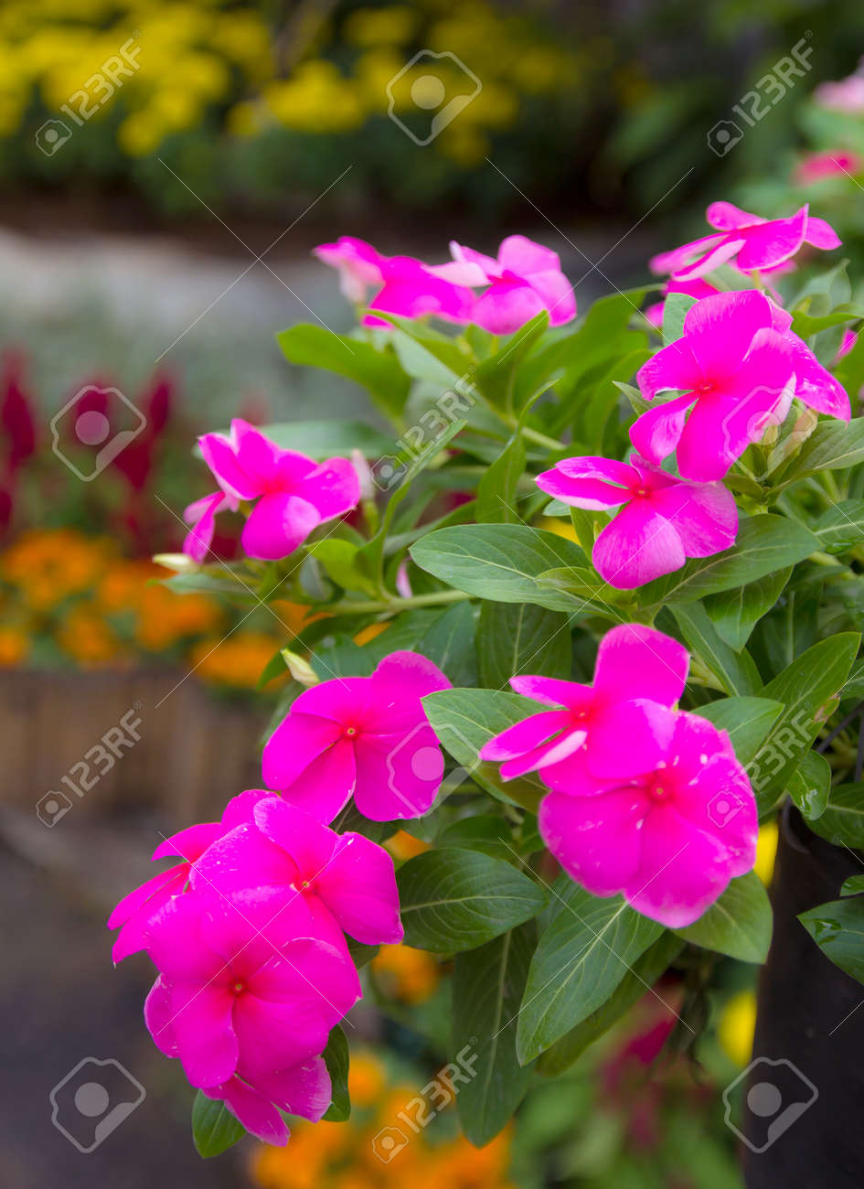 Pink Roseus Flowers In Garden The Scientific Name Catharanthus