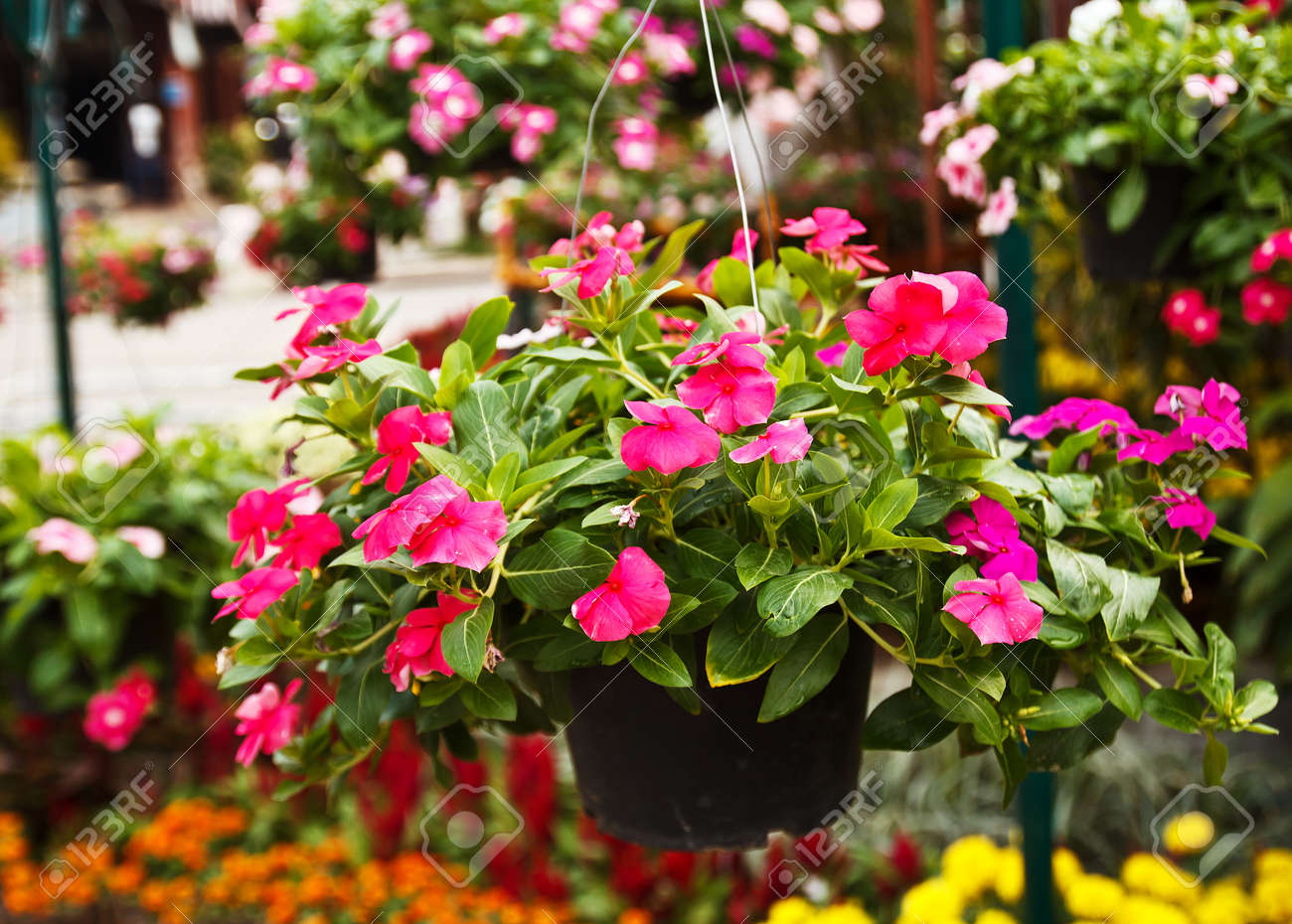 Garden flowers names - Pink Roseus Flowers In Garden The Scientific Name Catharanthus