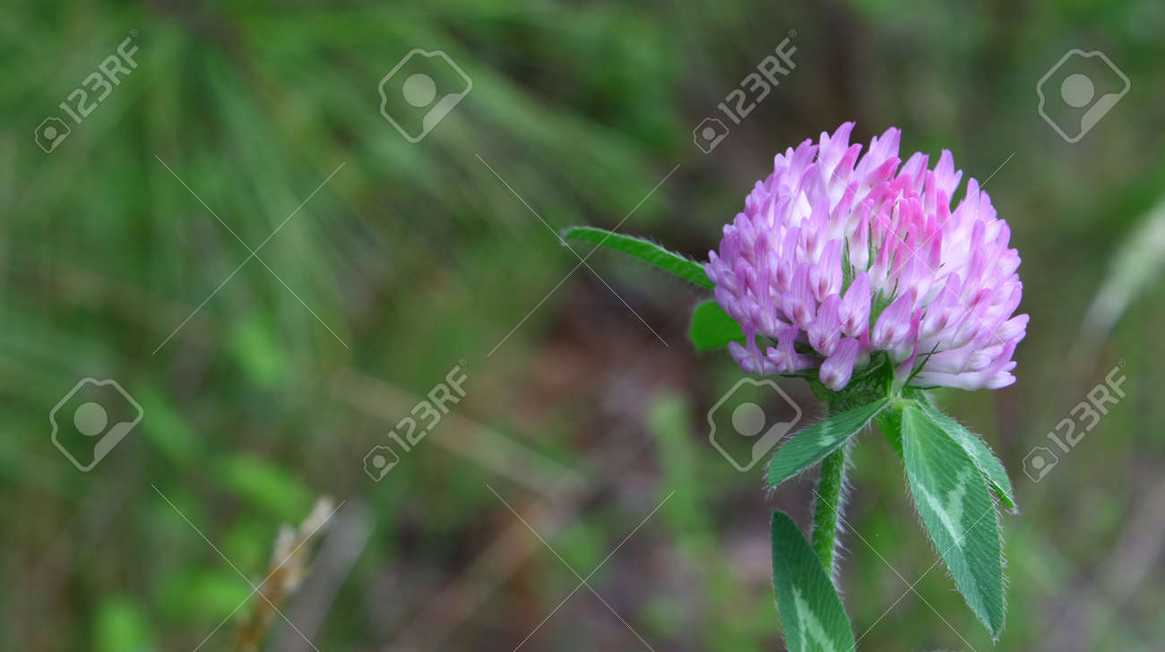 A Purple Clover Flower Using A Shallow Depth Of Field And Selective