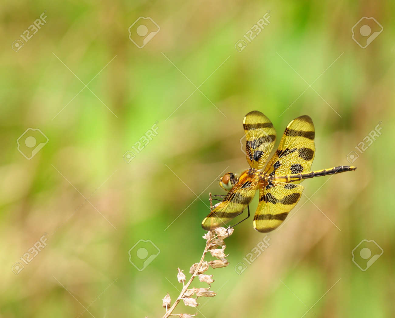 A Beautiful Golden Dragonfly known as Stock Photo - 14952813