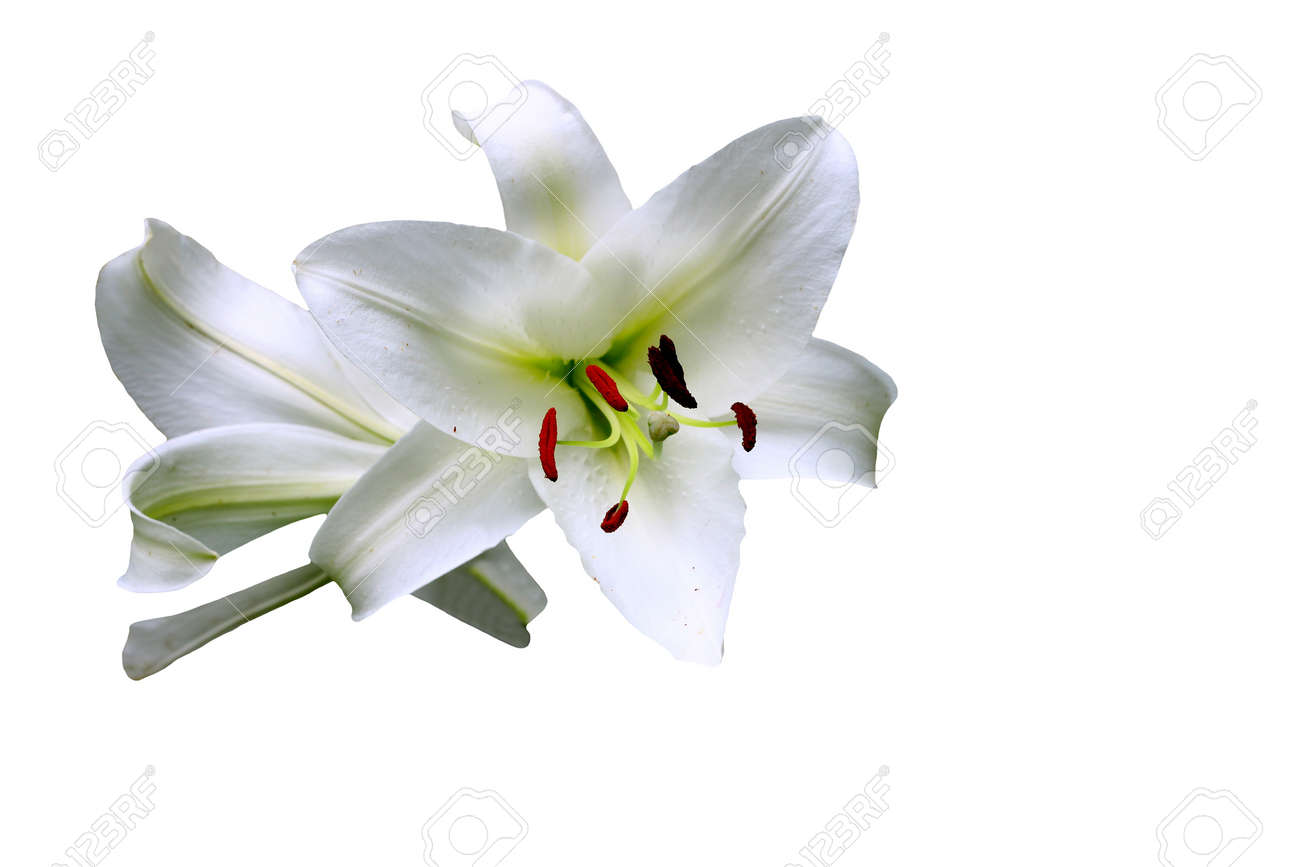 13d5c1f8c42f23 A Gorgeous pair of Christmas Lilies (Lilium longiflorum) isolated on black  with room for