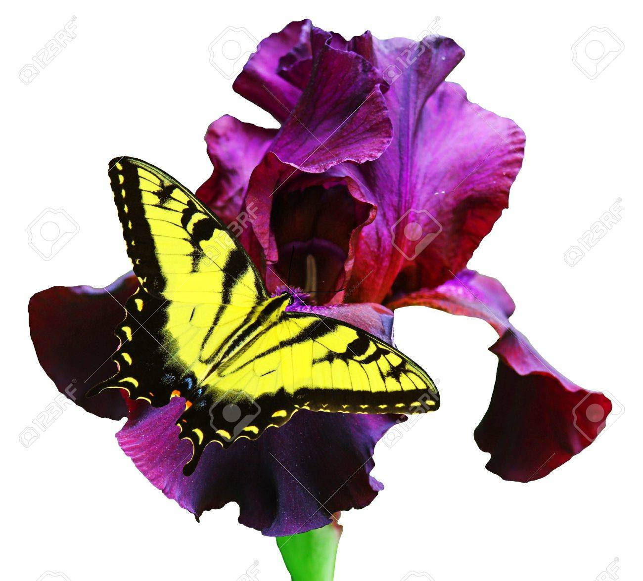 A Beautiful Eastern Tiger Swallowtail Butterfly on a gorgeous black velvet Bearded iris isolated on white with room for your text Stock Photo - 15014078