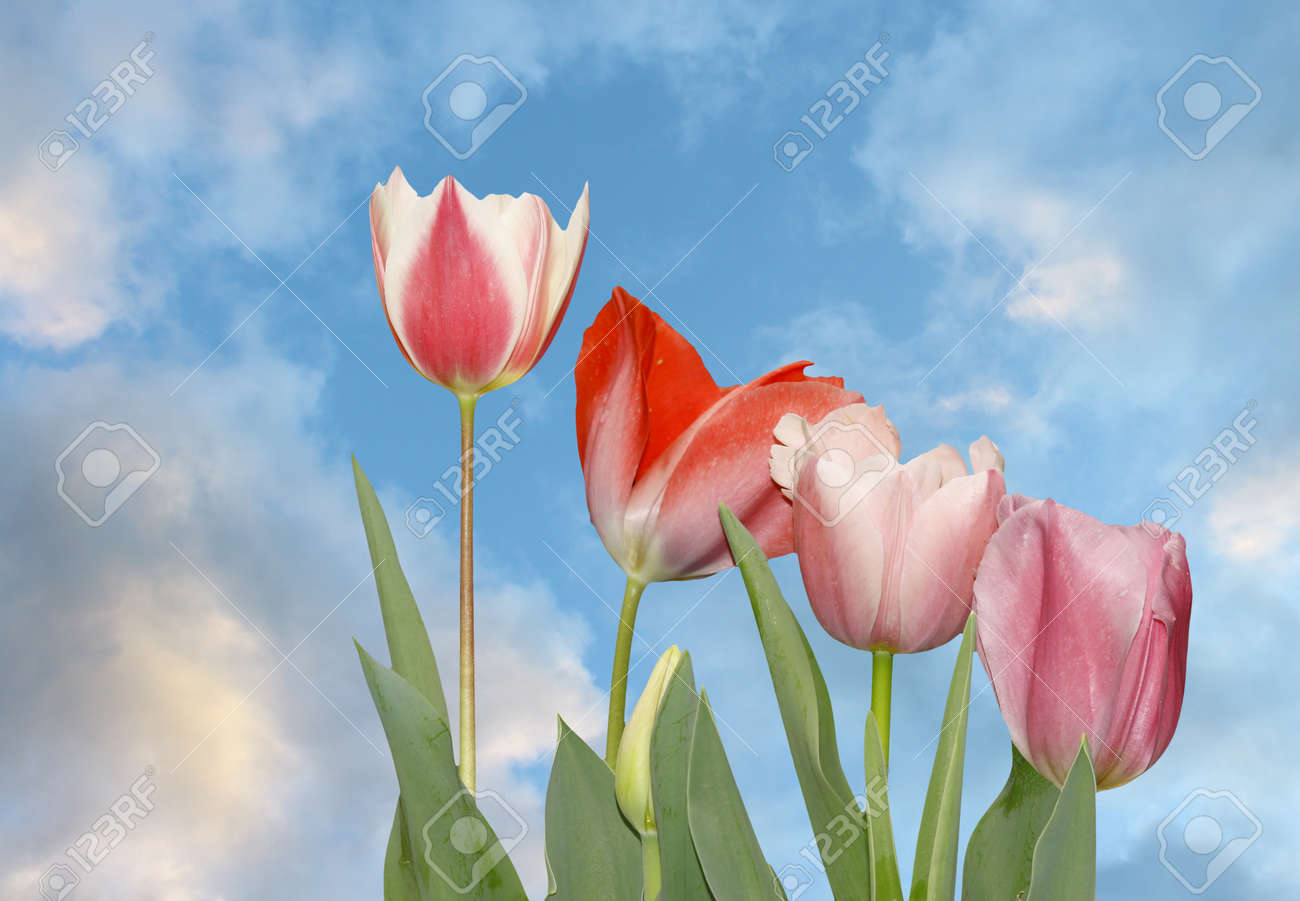 Four newly emerging young tulips against a beautiful blue cloud filled sky. Stock Photo - 15150852