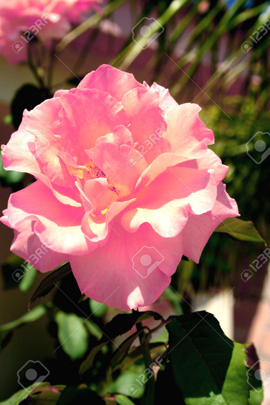 Pink beautiful flower in the garden in summer. Stock Photo - 1686250
