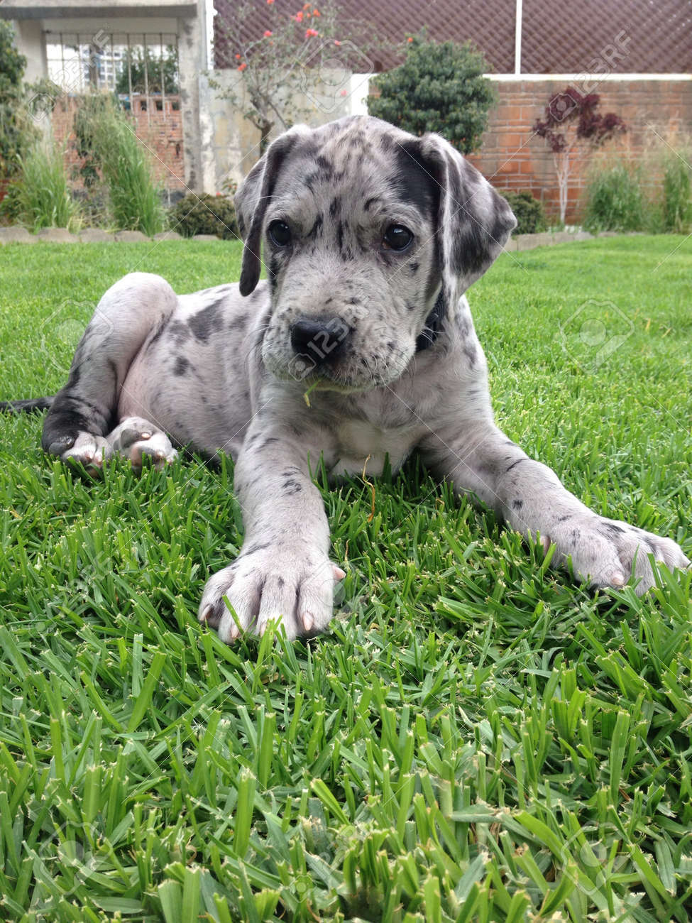 Cute great dane puppy in the grass stock photo picture and royalty cute great dane puppy in the grass stock photo 21167587 geenschuldenfo Image collections