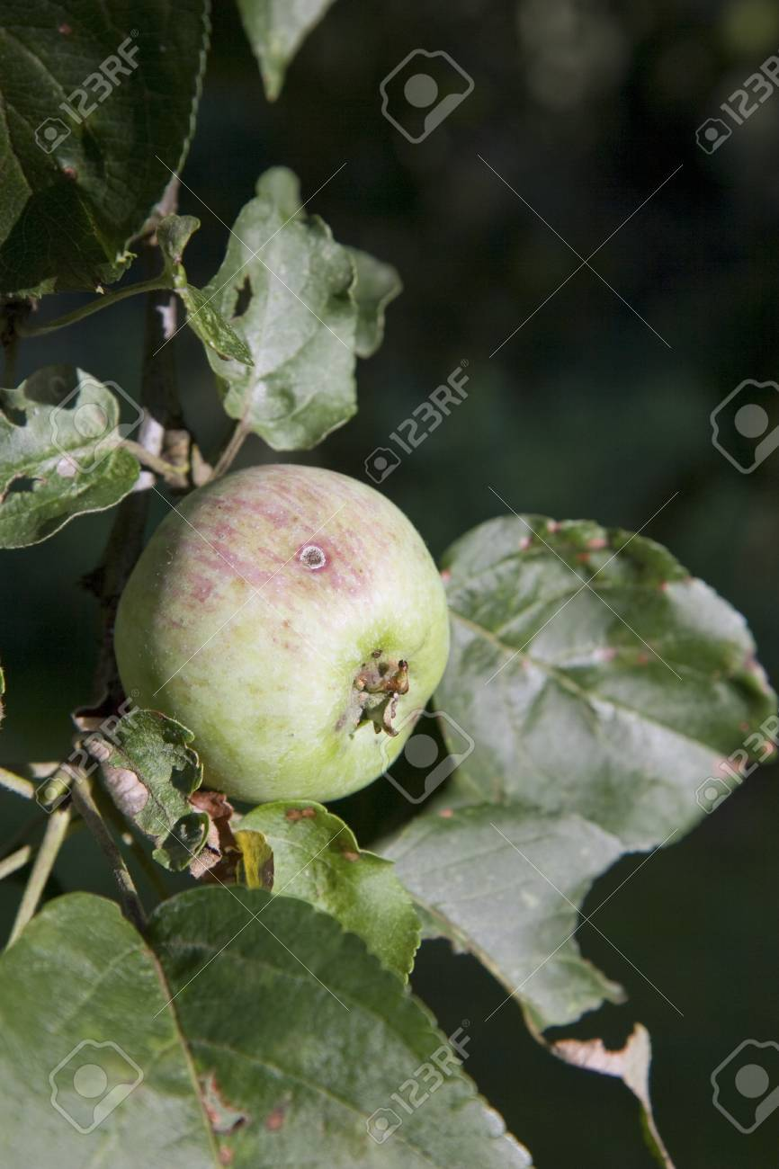 An apple with last shine of sun on the tree with leafs Stock Photo - 14853137