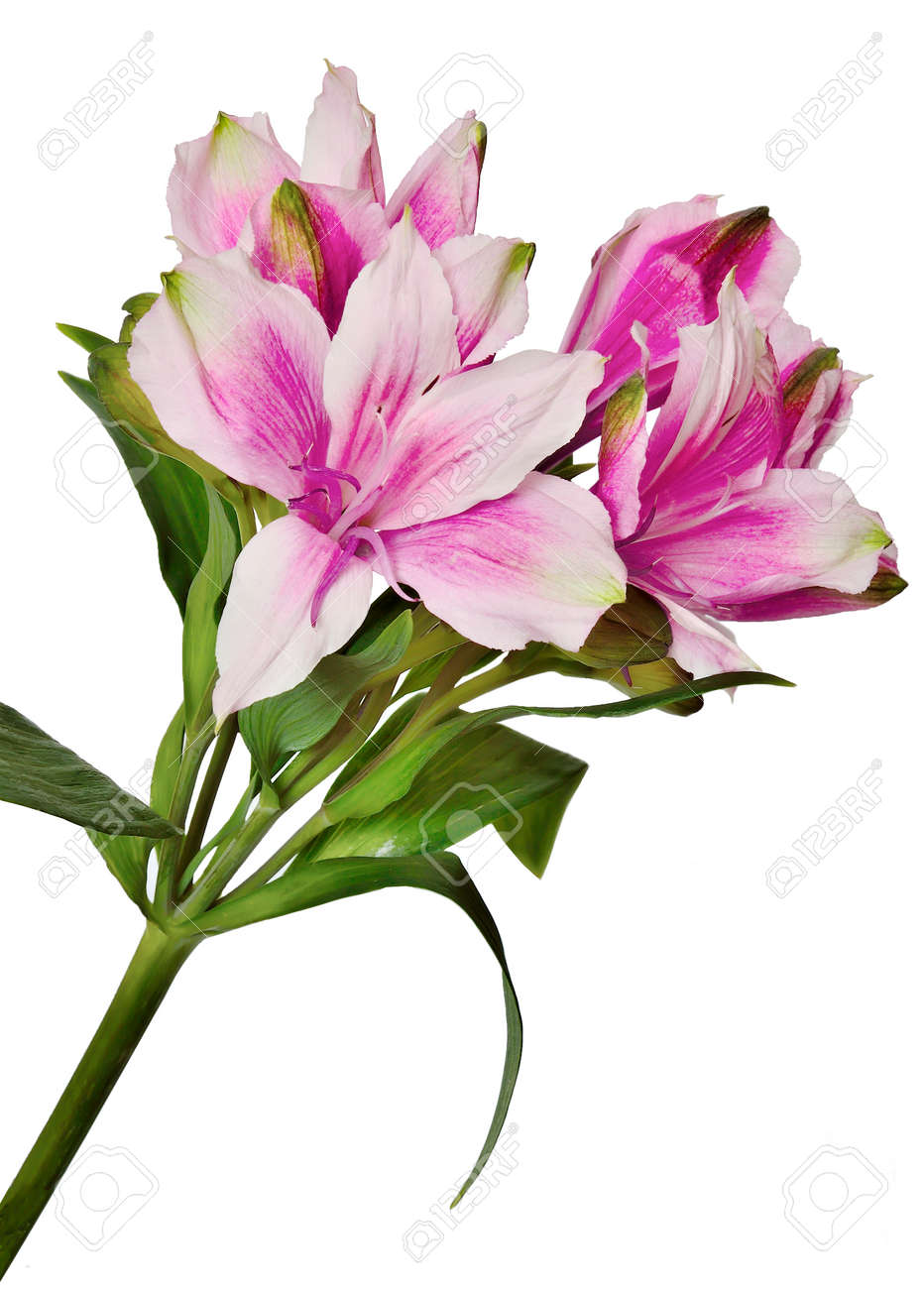 Delicate Pink Flowers Isolated On White Background Stock Photo