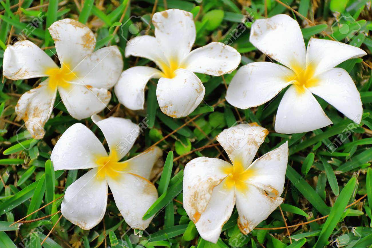 Tiar Fleur Tahitienne Gardenia Tiare Tahiti Montrant Sa Couleur