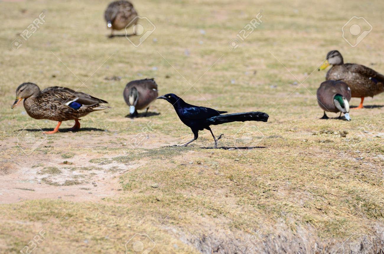 la plus grande queue noire