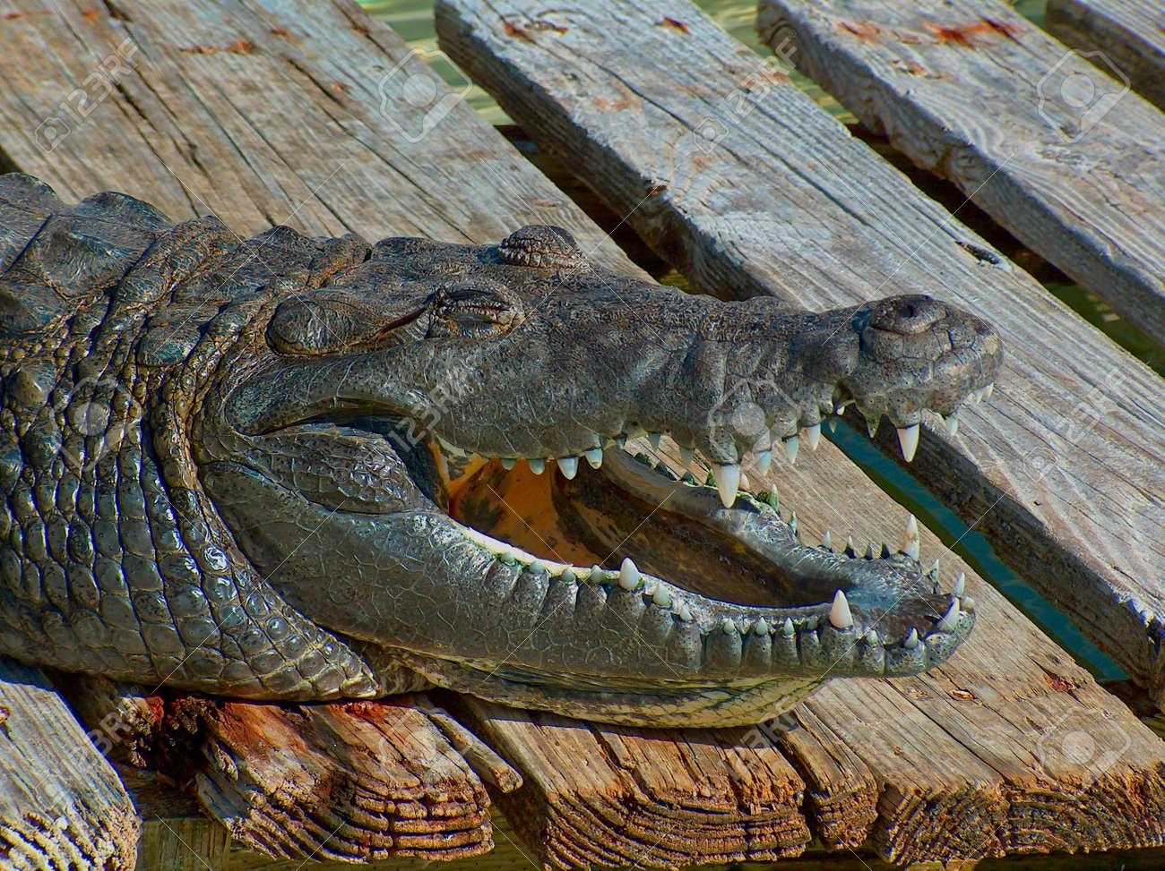 6006597-Smiling-Alligator-Stock-Photo.jpg