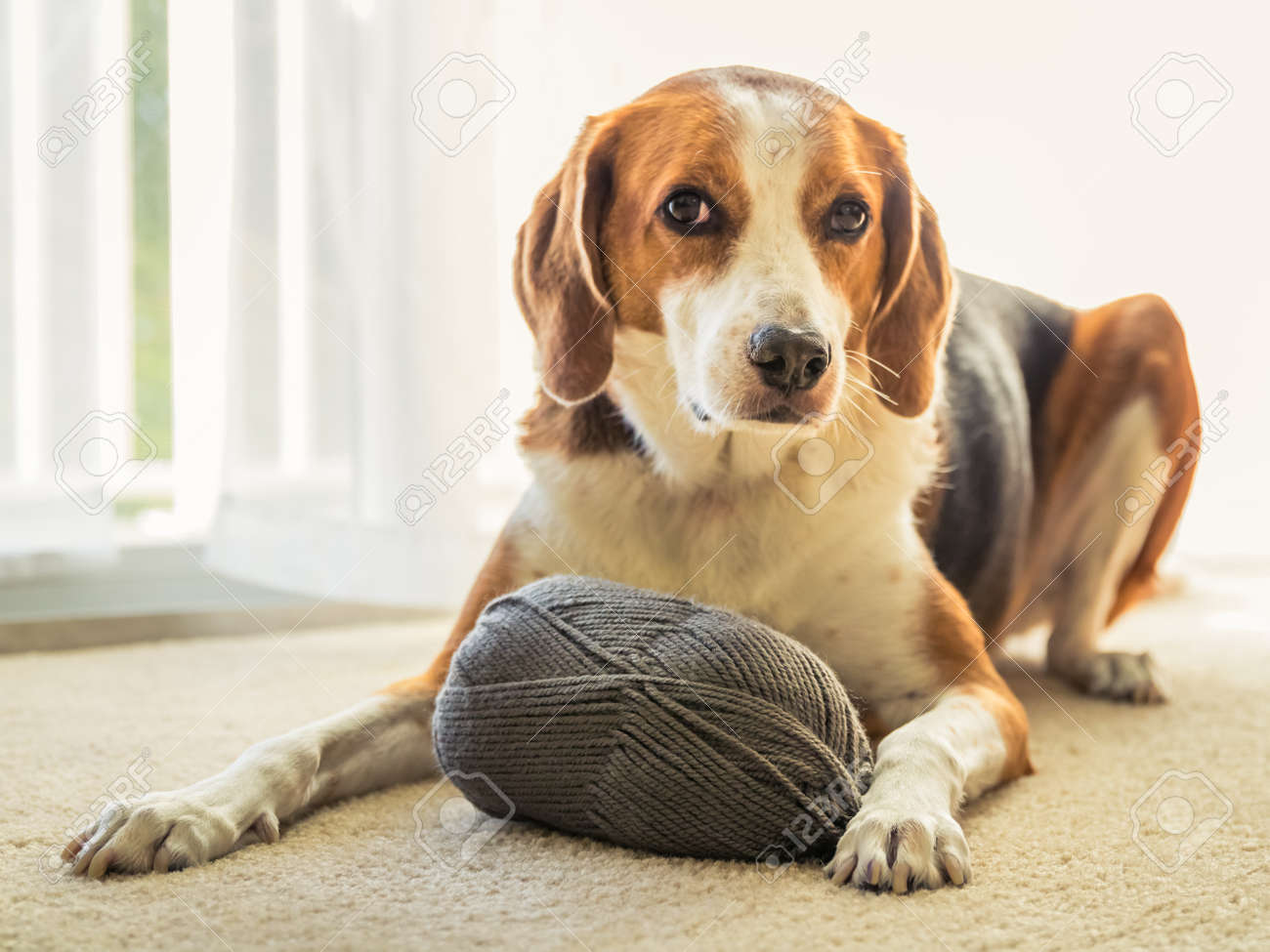 An adorable Beagle mixed dog is laying on the floor inside a house with a big ball of grey yarn. - 115211113